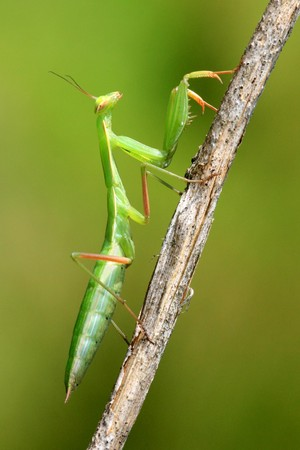 Juvenile Mantis religiosa, praying mantis on a stick   photo