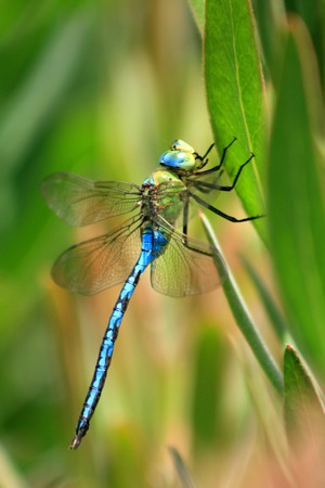 Anax imperator dragonfly in a stick photo