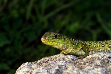 lizzard: nice green lizzard in the nature
