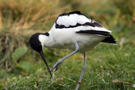 alfaiate (Recurvirostra avosetta), nature photo Banco de Imagens
