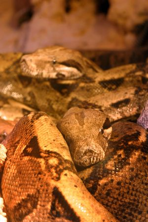 constrictor: Boa constrictor snake, nature animal