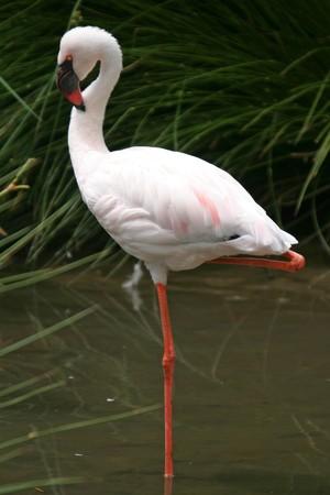 beautiful flamingo portrait, nature photography photo