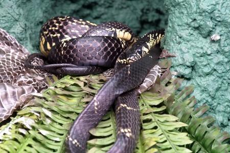 tigre: Spilotes pullatus or Tigre Ratsnake or Whip Snake