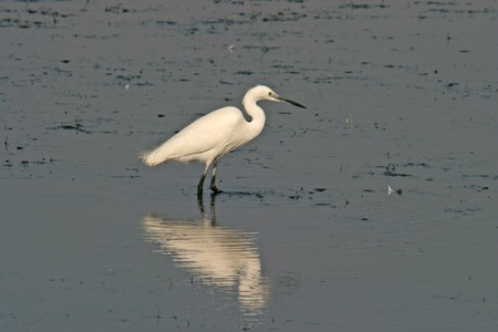 Great White heron, beautiful nature animal photo photo