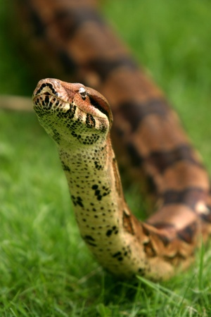 Boa constrictor snake, nature animal photo Stock Photo