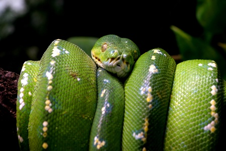 Green snake curled up on a branch, nature animal photo photo