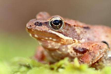 beautiful macro photo of an iberian frog, nature and wildlife of portugal