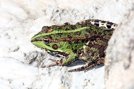 beautiful green frog, nature and wildlife photo Stock Photo - 16040328