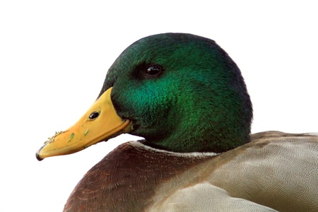 anas platyrhynchos: The Mallard (Anas platyrhynchos) Stock Photo
