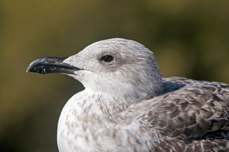Pearched seagul by the water, nature photography, larus argentatus Stock Photo