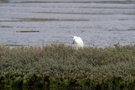 Great White heron, beautiful nature animal photo