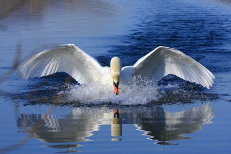 Swan Banque d'images - 8656167