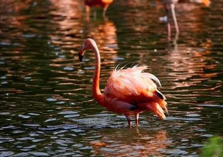 Flamingo Stock Photo - 8656207
