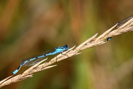 anisoptera: dragonfly marshes of France in its natural environment Stock Photo