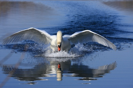 onslaught: a swan majestic attack to protect his female Stock Photo