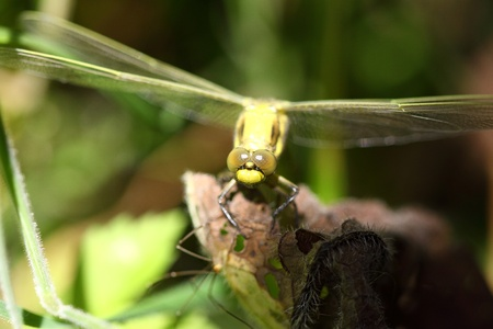 dragonfly marshes of France in its natural environment photo