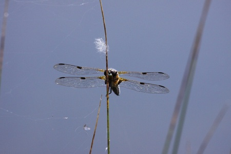 zygoptera: dragonfly marshes of France in its natural environment Stock Photo