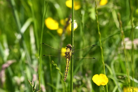 dragonfly marshes of France in its natural environment Stock Photo - 8909459