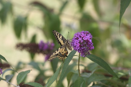 Swallowtail Butterfly on the flower   photo