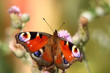 Butterfly inachis, Paon du jour, peacock Stock Photo - 8981359