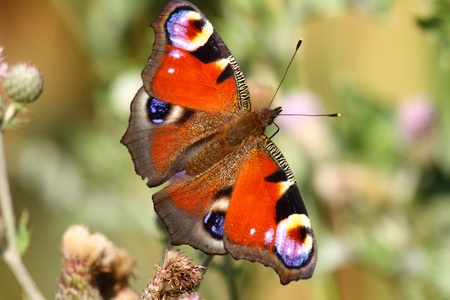 Butterfly inachis, Paon du jour, peacock Stock Photo - 8981380