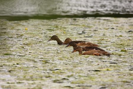Young mallard female, duck cane Stock Photo - 9134260
