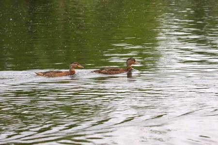 Young mallard female, duck cane Stock Photo - 9134251