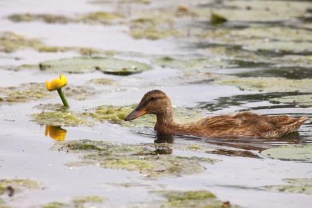 Young mallard female, duck cane Stock Photo - 9134243