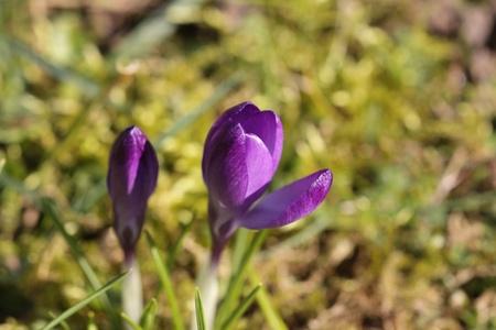 Crocus srping flower photo