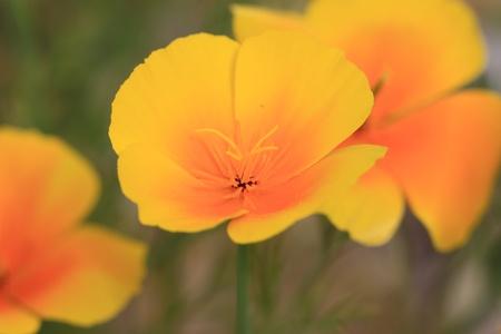 Eschscholtzia of California, california poppy Stock Photo - 9108118