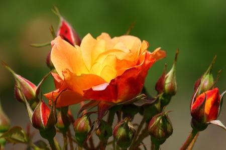 rosas amarillas: Rosaleda