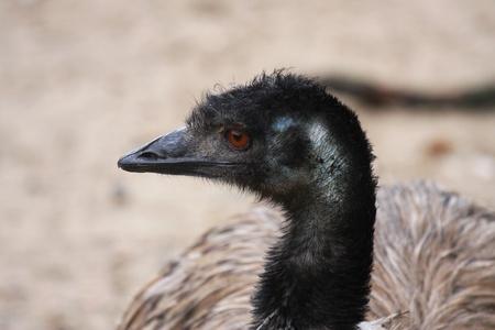 Emu, ostrich photo
