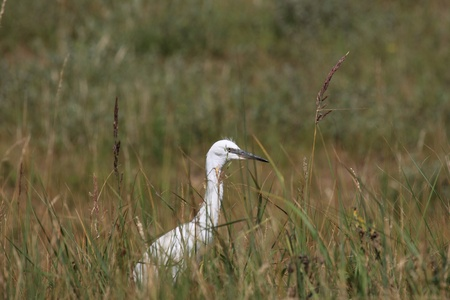 refle: Little Egret, Aigrette Garzette Stock Photo