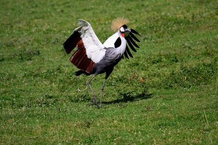 crowned crane photo