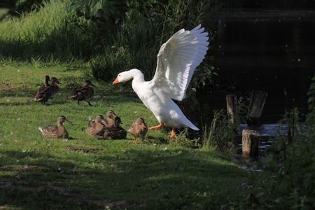 migrate: white geeses and ducks