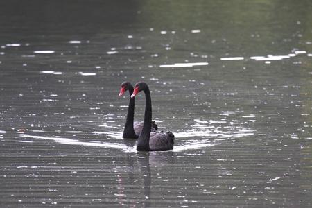 Black swan, anatidae photo
