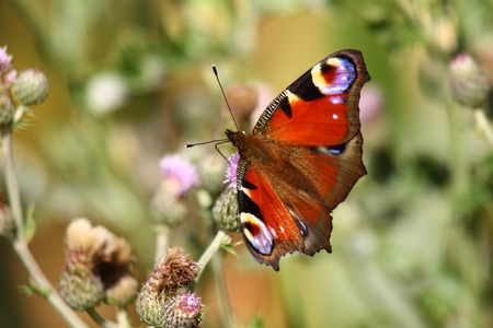 inachis: Butterfly inachis, Paon du jour, peacock