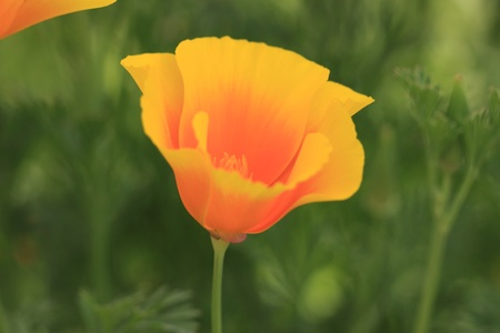 Eschscholtzia of California, california poppy photo
