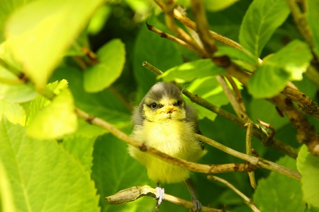 Baby blue tit, chick photo