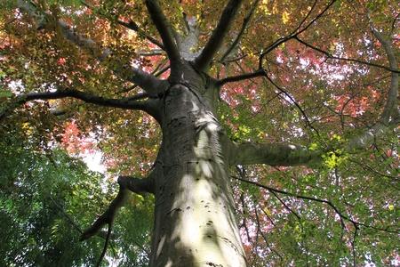 copper beech, tree-top photo