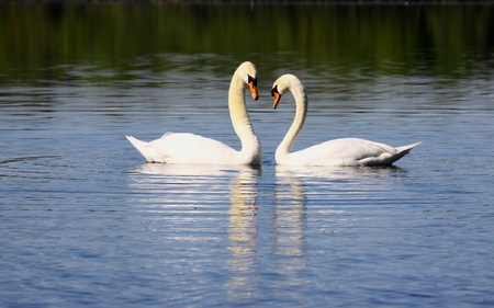 Mating swans photo