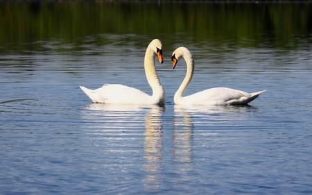 Mating swans