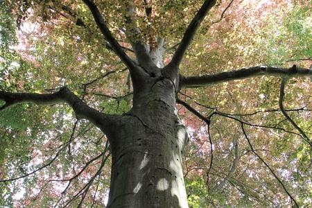 treetop: copper beech, tree-top