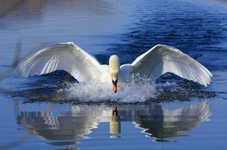 onslaught: Swan attack Stock Photo
