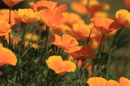 Eschscholtzia of California, california poppy Stock Photo - 9445534