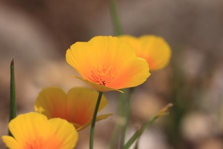 Eschscholtzia of California, california poppy photo