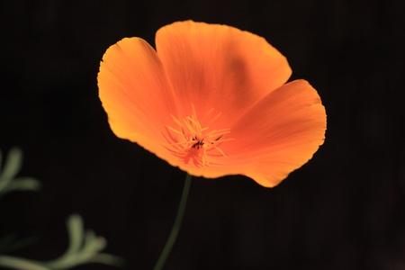Eschscholtzia of California, california poppy Stock Photo - 9445747