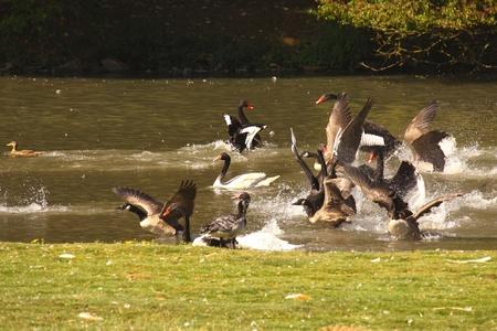 Black swan, anatidae Stock Photo - 9552664