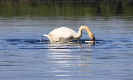 Mating swans photo