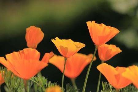 Eschscholtzia of California, california poppy Stock Photo - 9552785